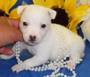 Pure White Jack Russell Terrier Puppies For Sale.