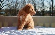 standard poodle  puppies(chantehc@yahoo.com)