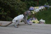 GR65 adorable little Wonderful Pygmy Marmoset and Capuchin 07031957695