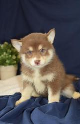 HDFWE checked friendly,  and sociable Pomsky For Sale 07031957695