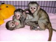 JAERW Adorable Twin Pygmy Marmoset and Capuchin 07031956739
