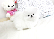BNFDFD friendly,  and charming sociable Pomeranian 07031956739
