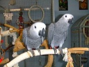 Tamed Pair African Grey Parrots For Free Adoption