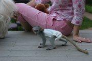 NXHDE Pairs Capuchin pygmy marmoset available 07031956739