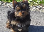 Adorable Yorkie puppies for free adoption..