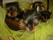 Outstanding teacup yorkie puppies for free adoption