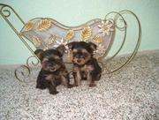 Teacup Yorkie Puppies for Free Adoption Classified Ad